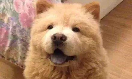 松狮剪毛后,更显胖嘟嘟脸型,比泰迪熊还要熊!
