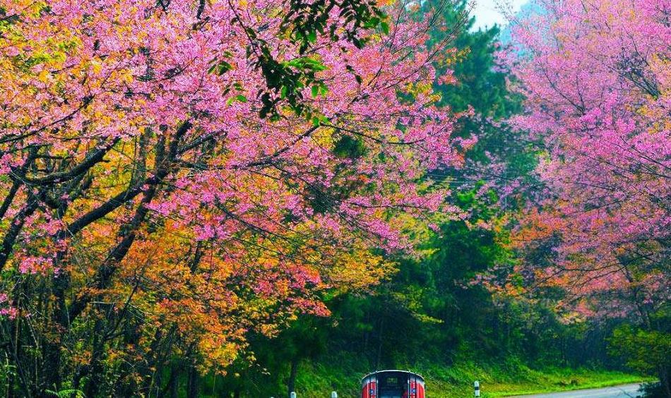 等不及春天去日本?那就在冬天去清迈赏樱吧