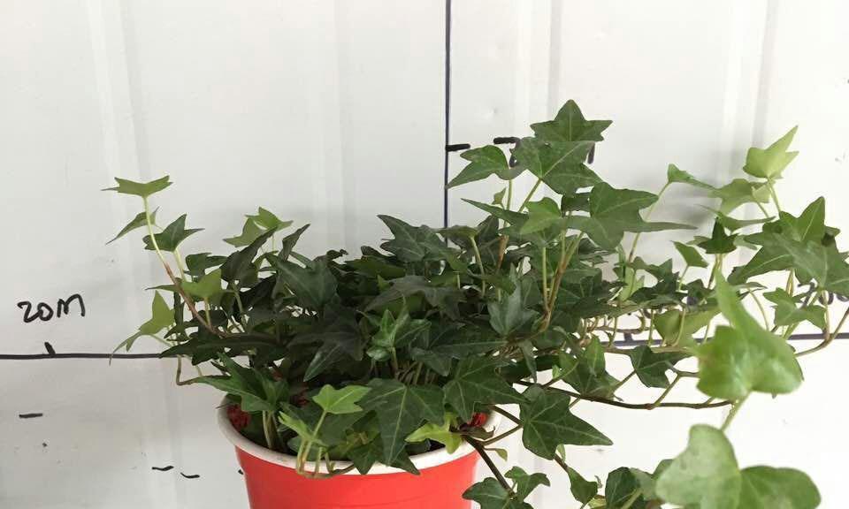常春藤长得旺盛,需不需要修剪?