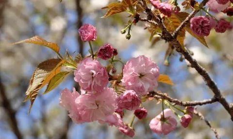 以中国吉祥物麒麟命名的日本樱花麒麟樱