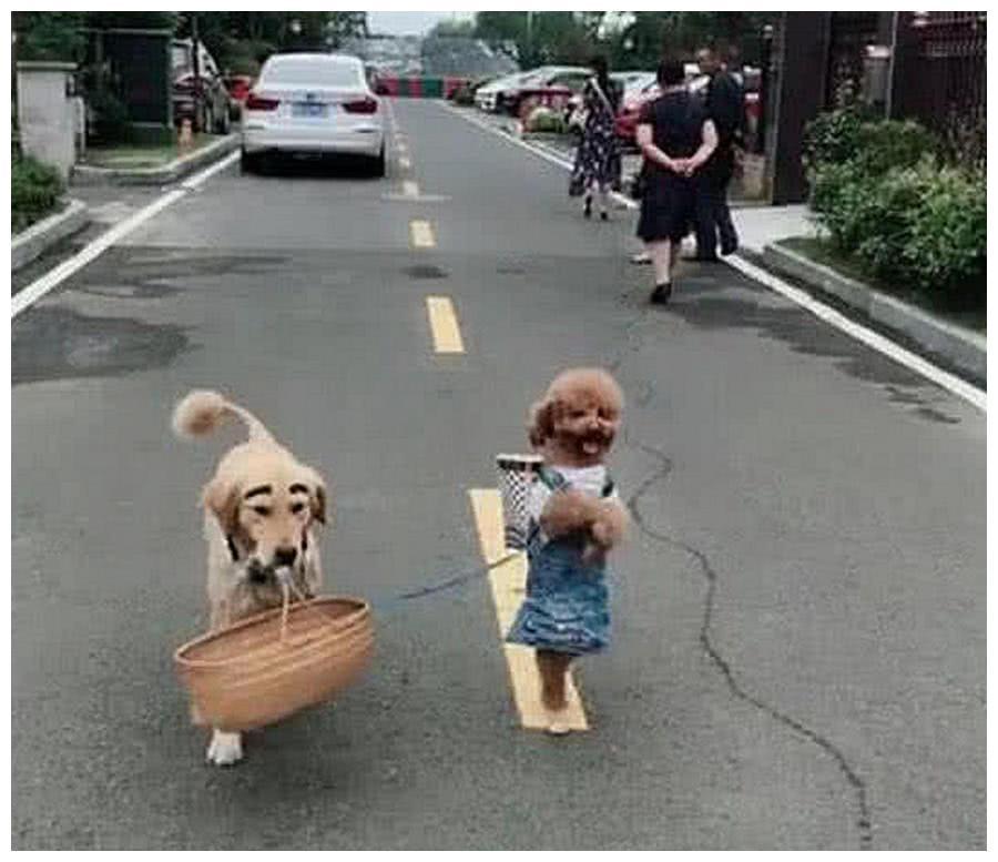 金毛和泰迪犯错被骂赔钱货,隔天在路上看见它们,走近一看傻了