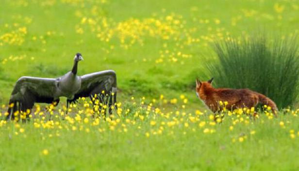 狡猾赤狐潜伏草地偷食幼鹤,没想到接下来鹤爸鹤妈让被它吓到