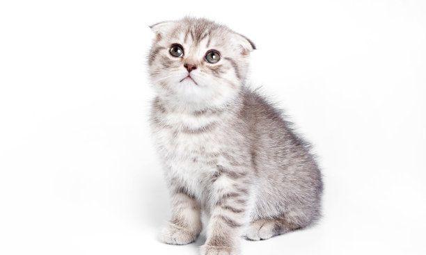 英国短毛猫原是一种体型相当大又结实的蓝猫,现在越来越优雅!