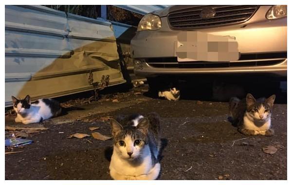 五只猫咪折手躺在车子旁边,就为了等车主来喂罐头,让网友们羡慕