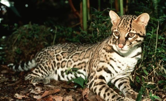 豹猫是产于亚洲的猫科动物,体型与家猫大致相仿,各亚种差别较大
