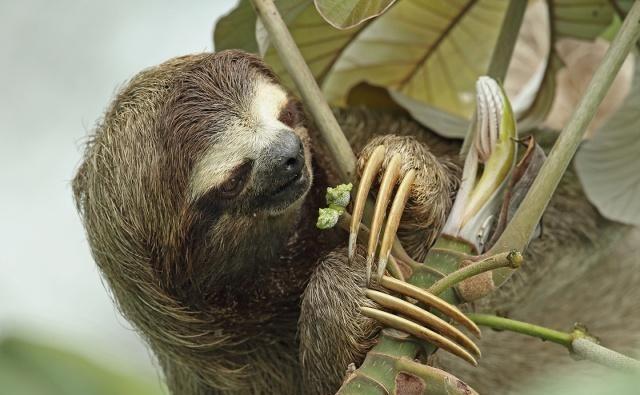 树懒是一种懒得出奇的哺乳动物,什么事都懒得做,甚至懒得去吃