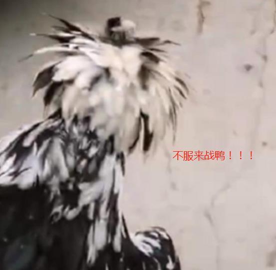 农村里的一辆劳斯莱斯,被鸡看上一嘴啄掉漆,维修费用六位数
