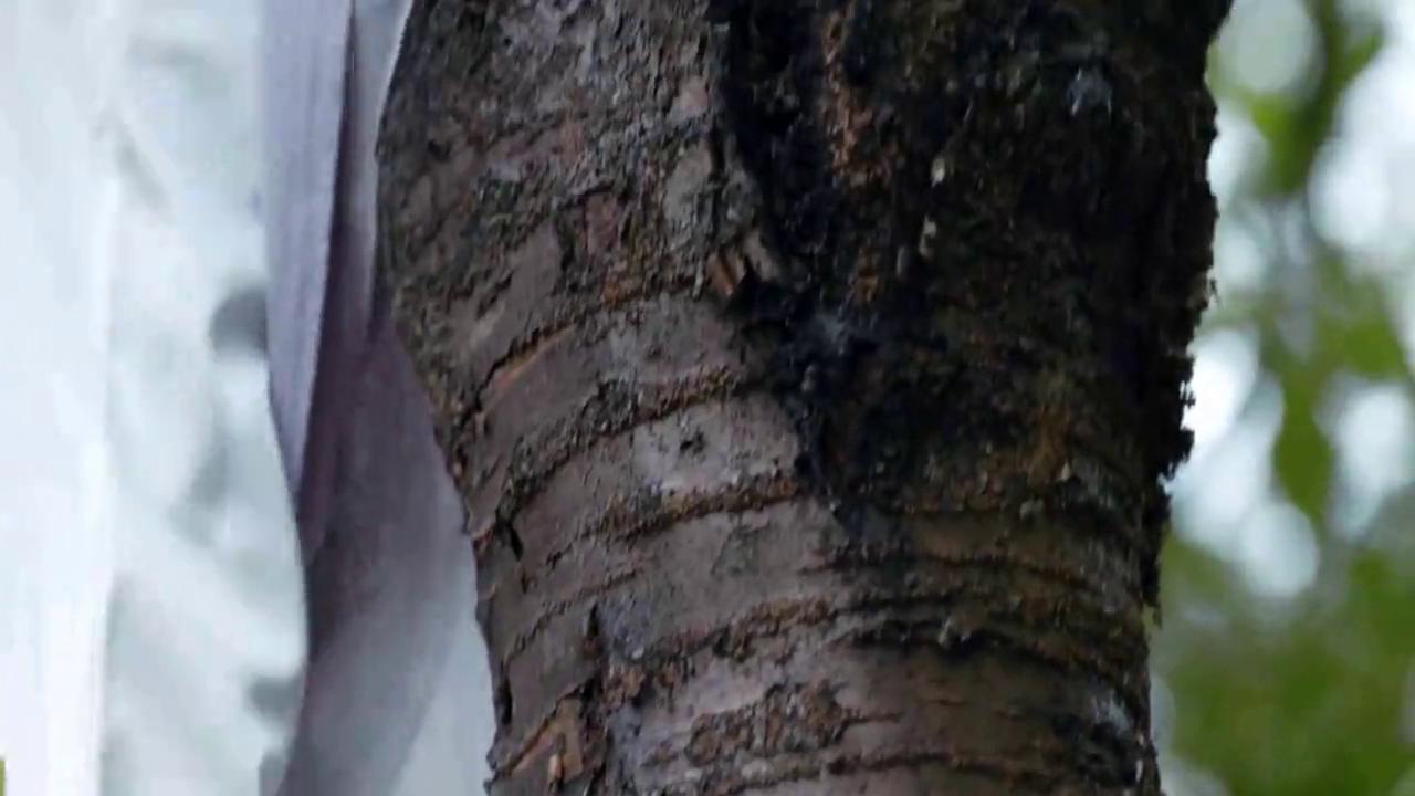 女子上树摘果子,却掉入了大王的怀中,绝世容颜,惊艳了大王