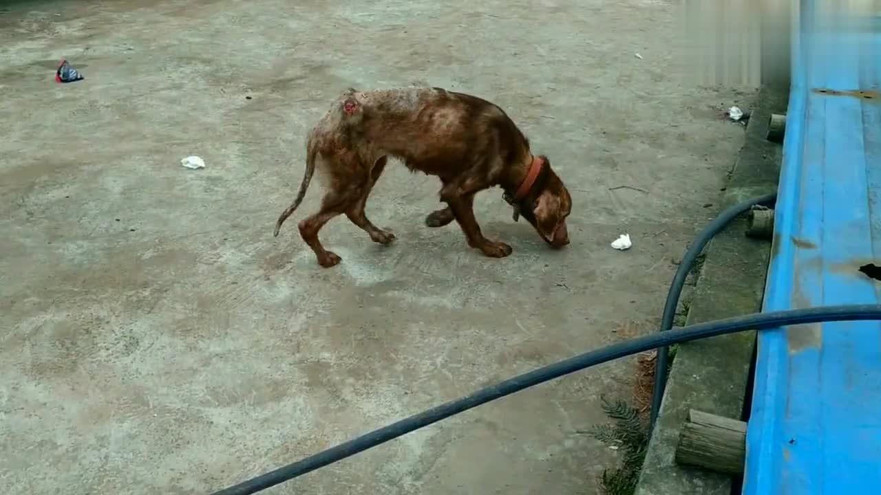 本来是不打算收养这只流浪狗,最后还是不忍心决定收养了