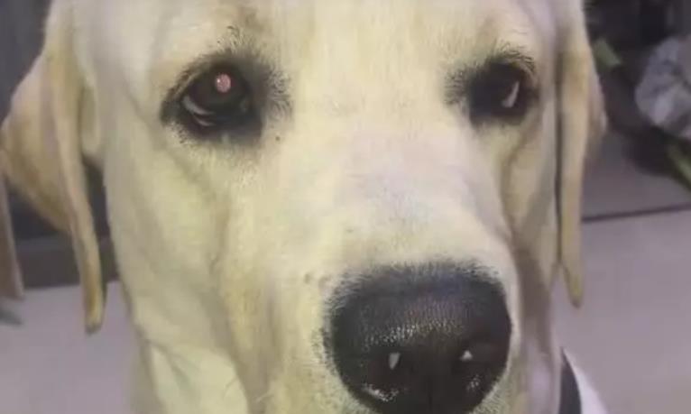 主人说狗不爱吃红薯,结果狗狗的口水出卖自己,出糗了