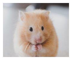 布丁仓鼠,不粘人不做作,是个安静的小宠物