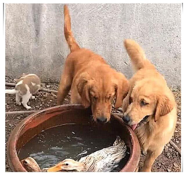 金毛第一次见鸭子游泳,还以为溺水了,它的反应让人笑喷!