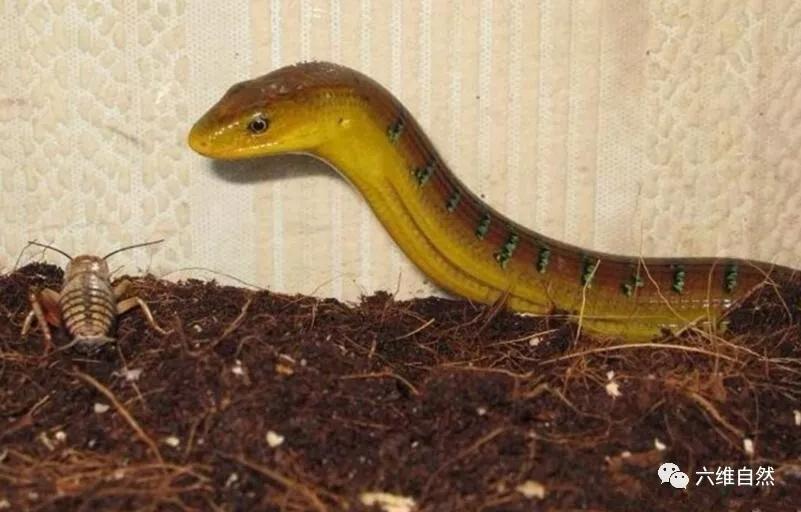 蛇画四肢就成蜥蜴,而蜥蜴没有四肢就像蛇,最像蛇的脆蛇蜥