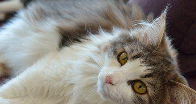 挪威森林猫生长环境寒冷恶劣,它有比其它猫厚密的毛和强壮体格!