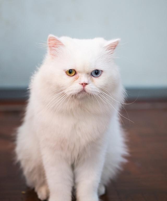 """波斯猫举止优雅,相貌迷人,故有""""猫中之王"""",""""王妃""""之称"""