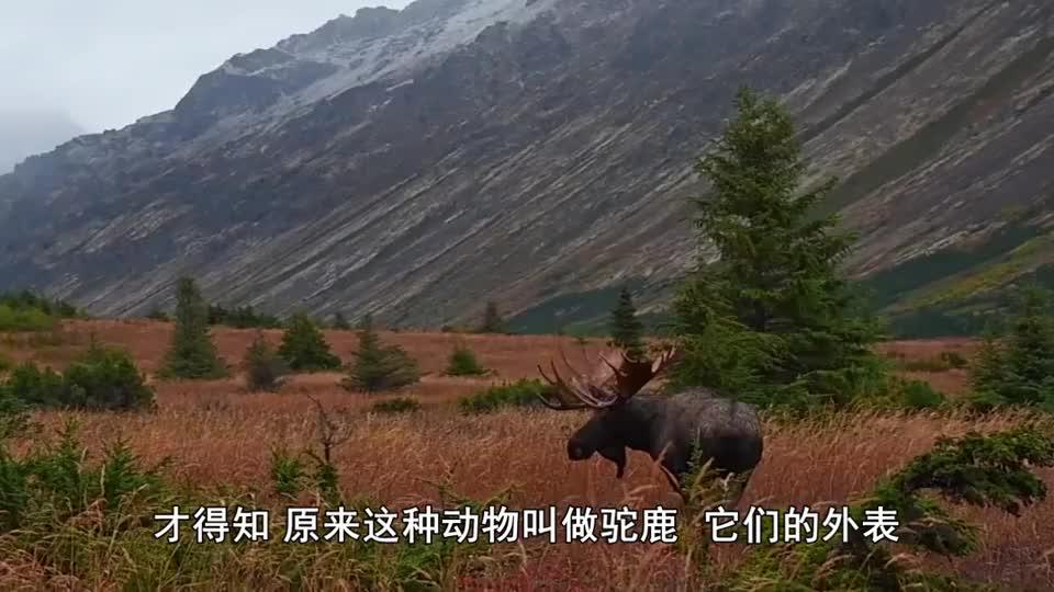 大兴安岭出现大型野兽,体重1吨比犀牛还高,唯一惧怕遇到狼群