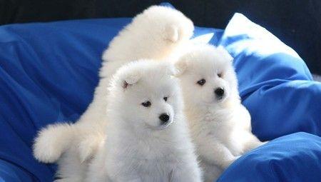 """萨摩耶犬有着""""微笑天使""""的称号,一岁前的它可爱调皮,灵动!"""
