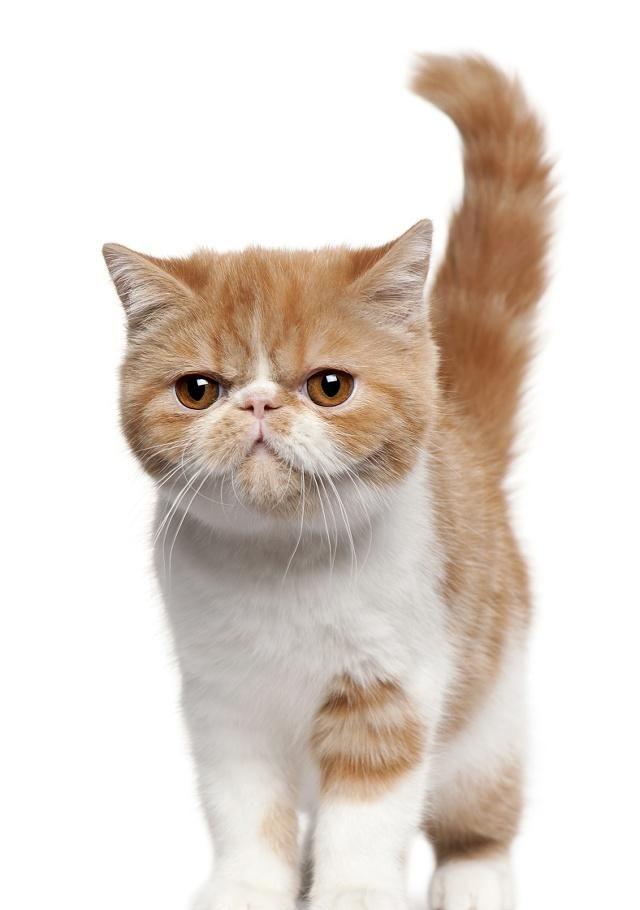 小猫咪拥有独特的可爱表情与圆滚滚的体型,脸部圆圆的,很呆萌