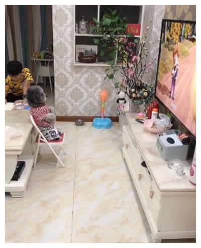 正在看电视的小泰迪,突然去厨房帮主人做家务事情,也是大开眼界