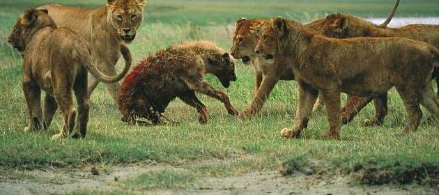 鬣狗竟敢偷食狮子幼崽,最后下场简直惨不忍睹!