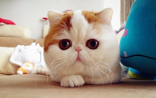 加菲猫很可爱,养它的铲屎官要注意这些问题哦!