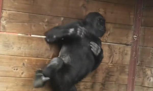 大猩猩被小孩惹怒,一拳击碎钢化玻璃,镜头记录危险瞬间