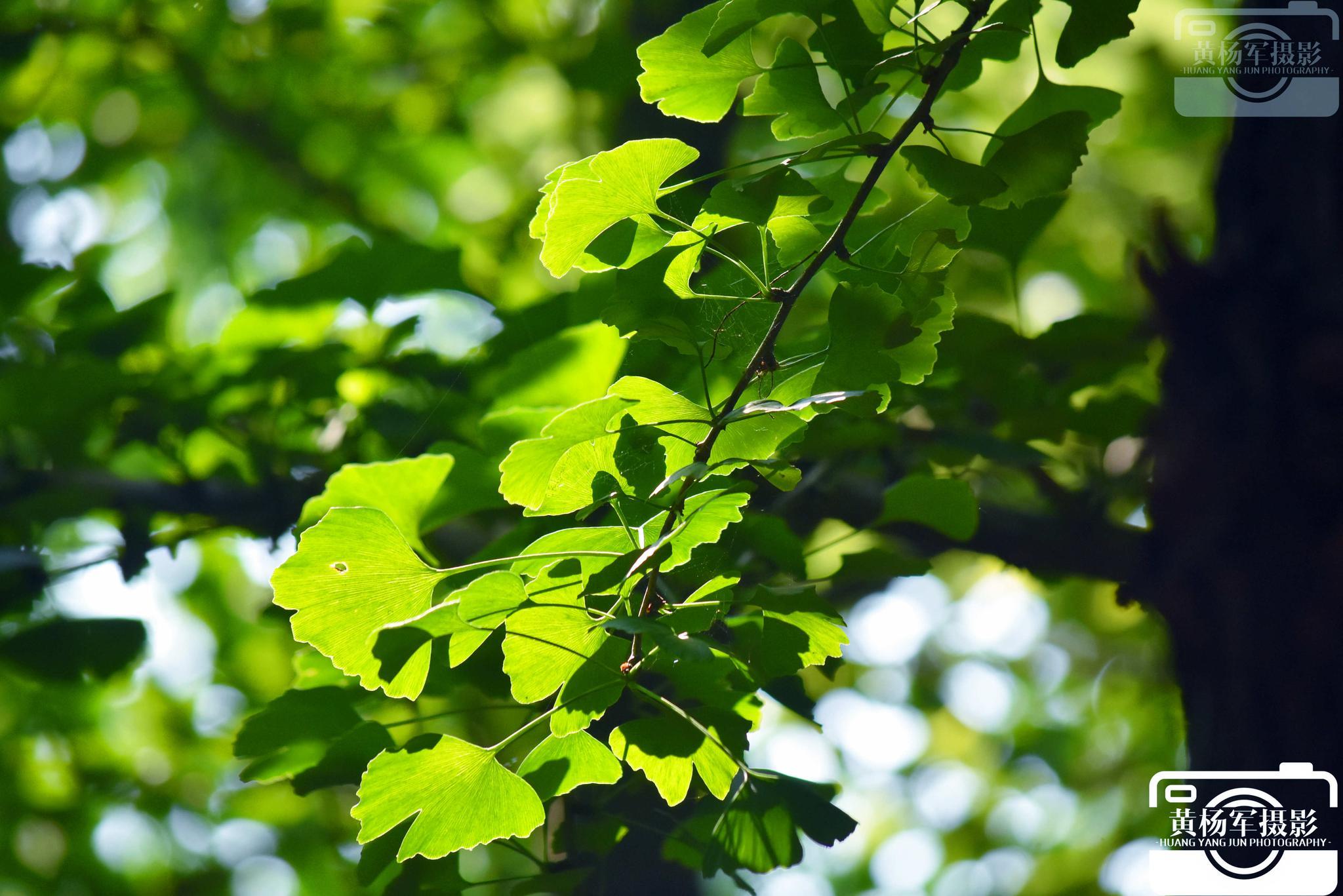 发现叶子的美·阳光下绿树林中美丽的银杏叶