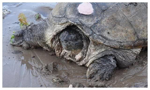 一只大海龟在海滩上一动不动,男子好奇抱起,看清后顿时流下眼泪