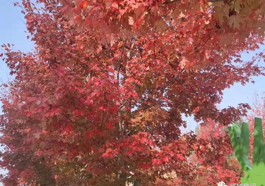 临颍:后花园的红叶又红了,成为当地居民的秋天打卡首选之地