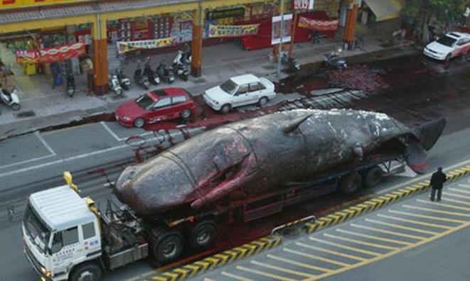 为什么鲸鱼那么危险,死后还会爆炸?真相可能没那么简单
