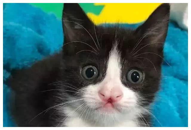 小猫天生长得奇特,身体的缺陷使它更懂得努力,就是这么有个性