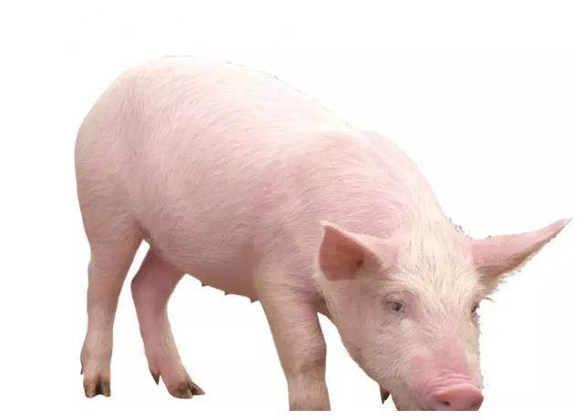 非洲猪瘟的源头查出来了?以后养殖户该怎么做?听听专家的忠告