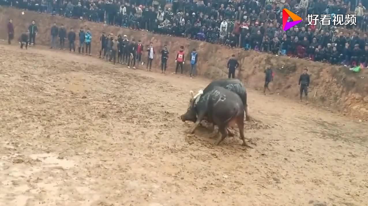 身价35万的牛王沙尘暴一上场就狂奔撞向敌牛太勇猛