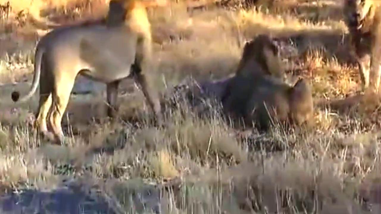 非洲狮子同类相残,四头雄狮活活咬死一只母狮,实在残忍!