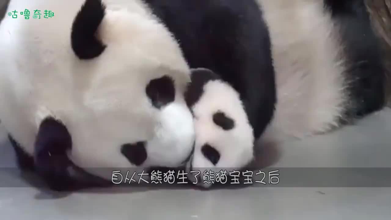奶妈的抢娃套路现已被熊猫妈妈识破了熊妈本熊太聪明了