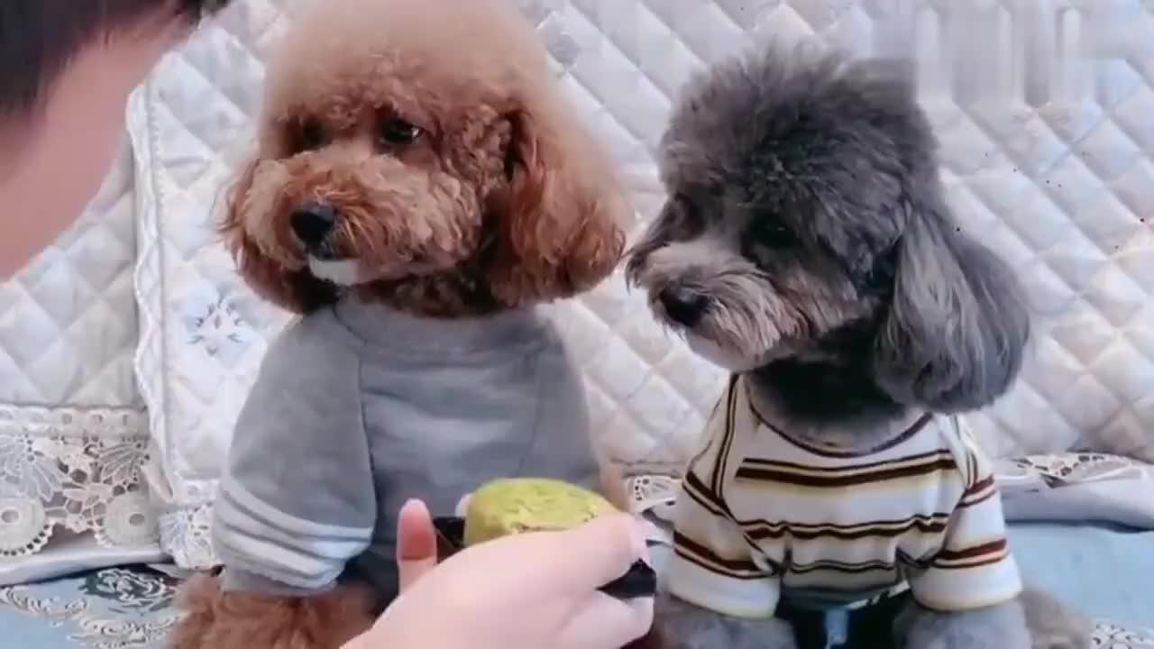 泰迪崽胖子和灰崽不敢吃月饼非要铲屎官试过以后才肯吃太精了
