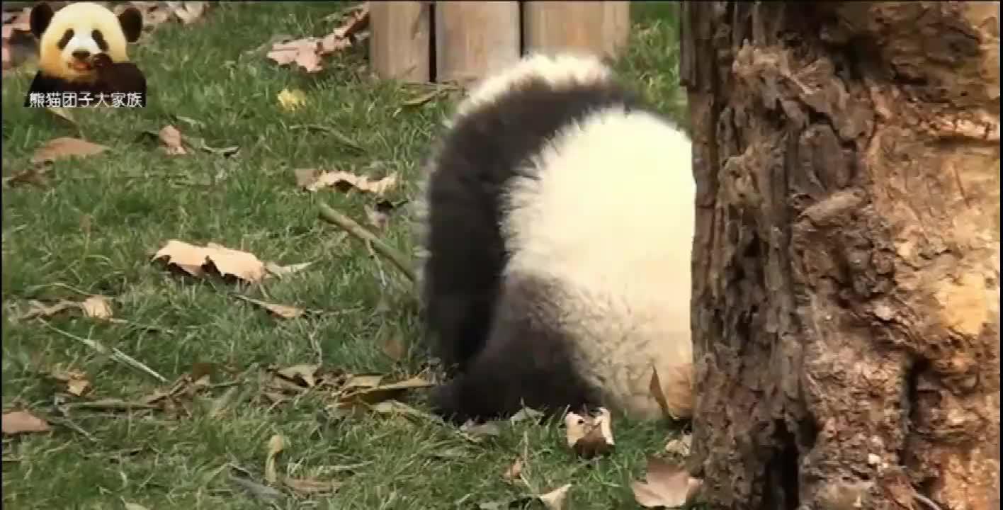 任性的熊猫团子赖在树上不肯下来奶妈你来求我呀