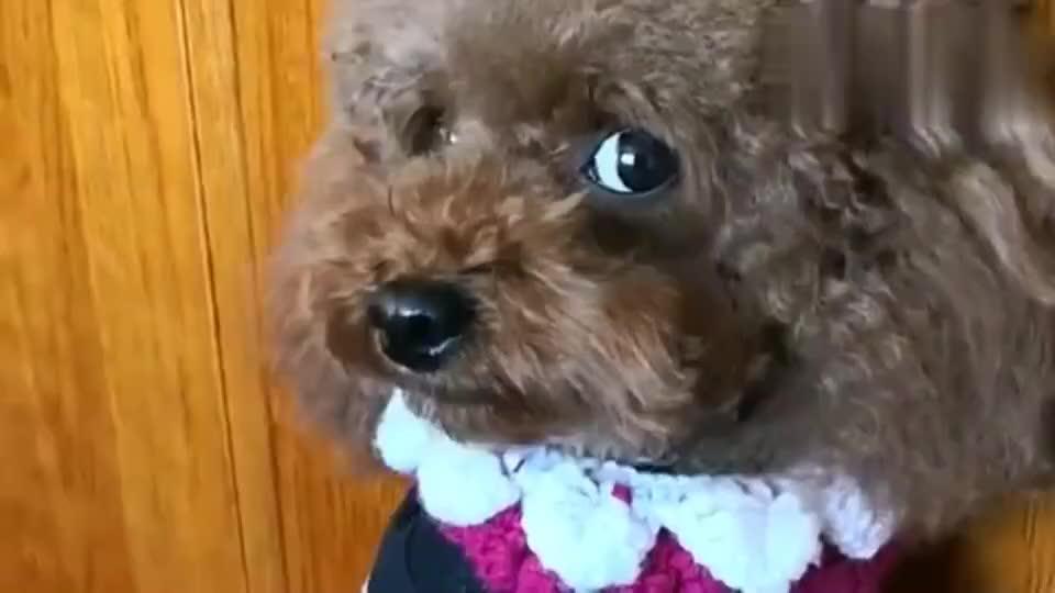 主人给泰迪穿上新衣服泰迪用自己的方式谢谢妈妈好可爱1