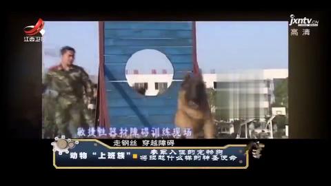走进搜救犬了解搜救犬的训练过程 带你看看不一样的人民保卫者