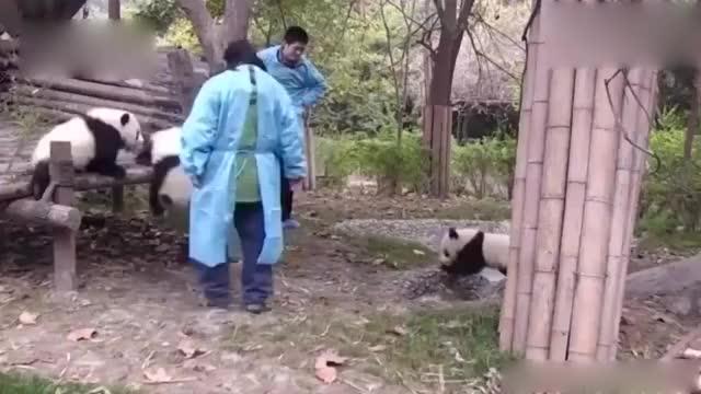 熊猫宝宝玩水把裤子弄湿了奶妈开启手动甩干模式就差拧干了