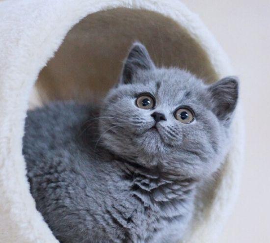有适应环境的能力是蓝猫,它有圆圆的脸蛋,真是个小调皮
