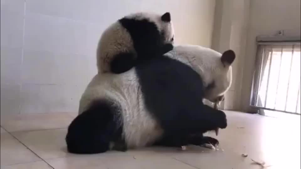 大熊猫在熊猫妈妈背上打架妈妈就只顾吃