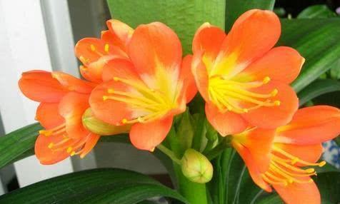 张大爷养花有秘诀,家里的君子兰根壮叶绿,蹭蹭长花箭!