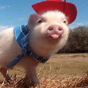 焦躁的小香猪