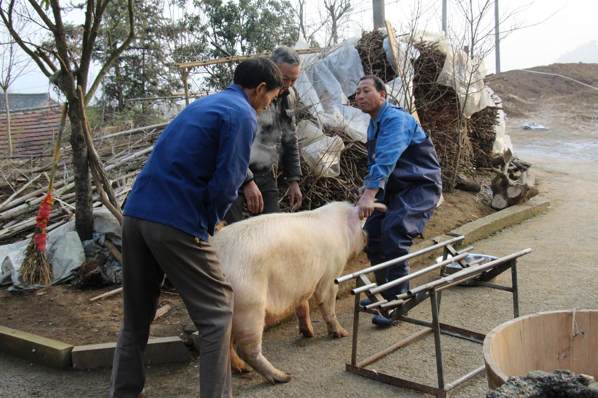 家猪被卖屠宰场,突然跪地哭泣,切开肚子后,屠夫决定不再杀猪