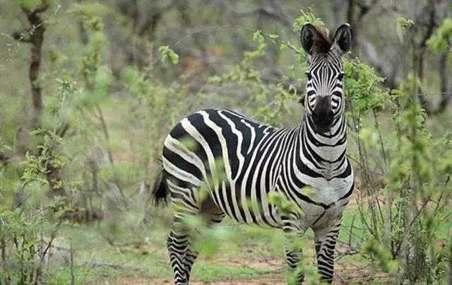 埃及动物园斑马被晒褪色,细看竟是驴化了妆,驴:我是