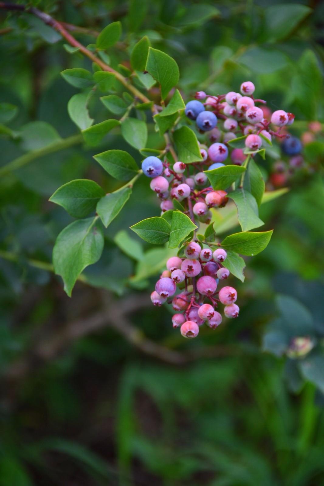 我最爱的蓝莓,第一次看到长在 枝上可爱的模样
