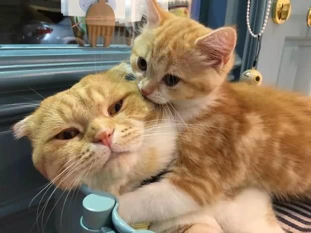 有一只特别爱撒娇的橘猫女儿,橘猫奶爸表示有点腻
