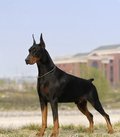 杜宾犬应该怎么训练?