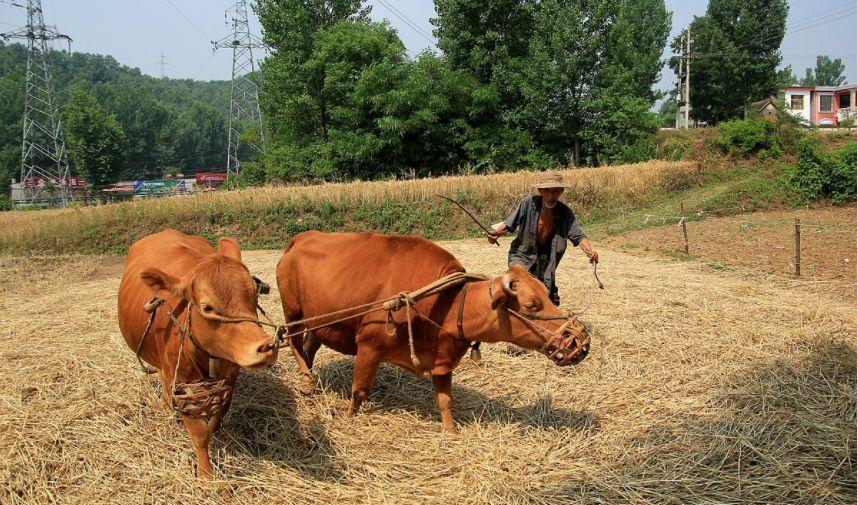 梦见杀牛和猪